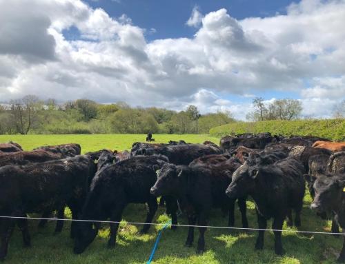Aberdeen Angus at Cabalva Farm