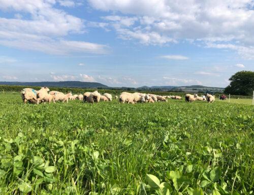 100% Forage Fed Lamb at Boycefield Farm